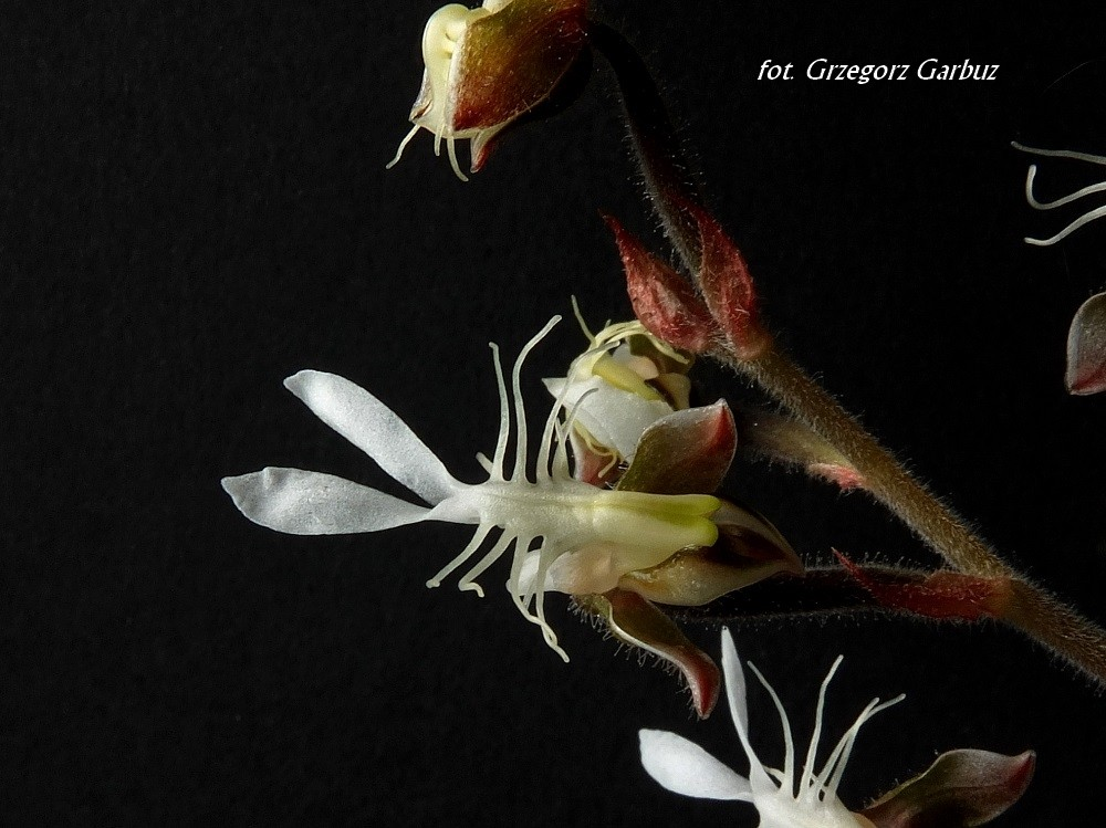 Jays Internet Orchid Species Photo Encyclopedia AncAz