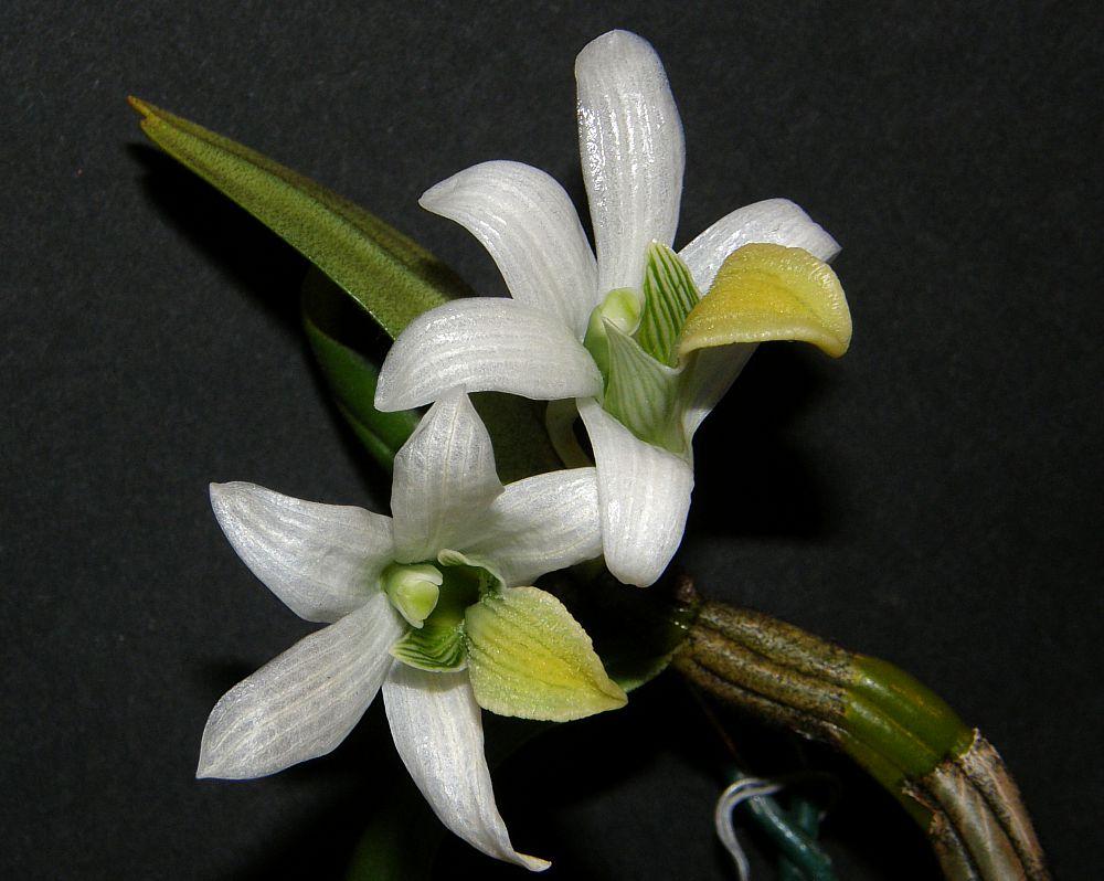 http://www.orchidarium.pl/forum/upload/Dendrobium%20scabrilingue%200005.jpg